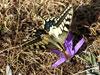 Papilio machaon en el Cocoto